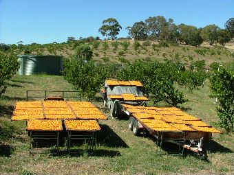 Fruit drying trays