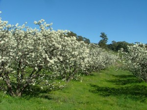 Plum trees flowering
