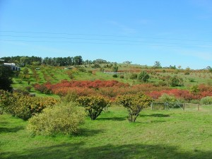 autumn colours - Narabeen plums