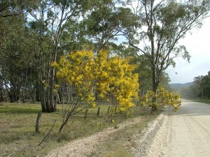 Acacias flowering along Forest Road