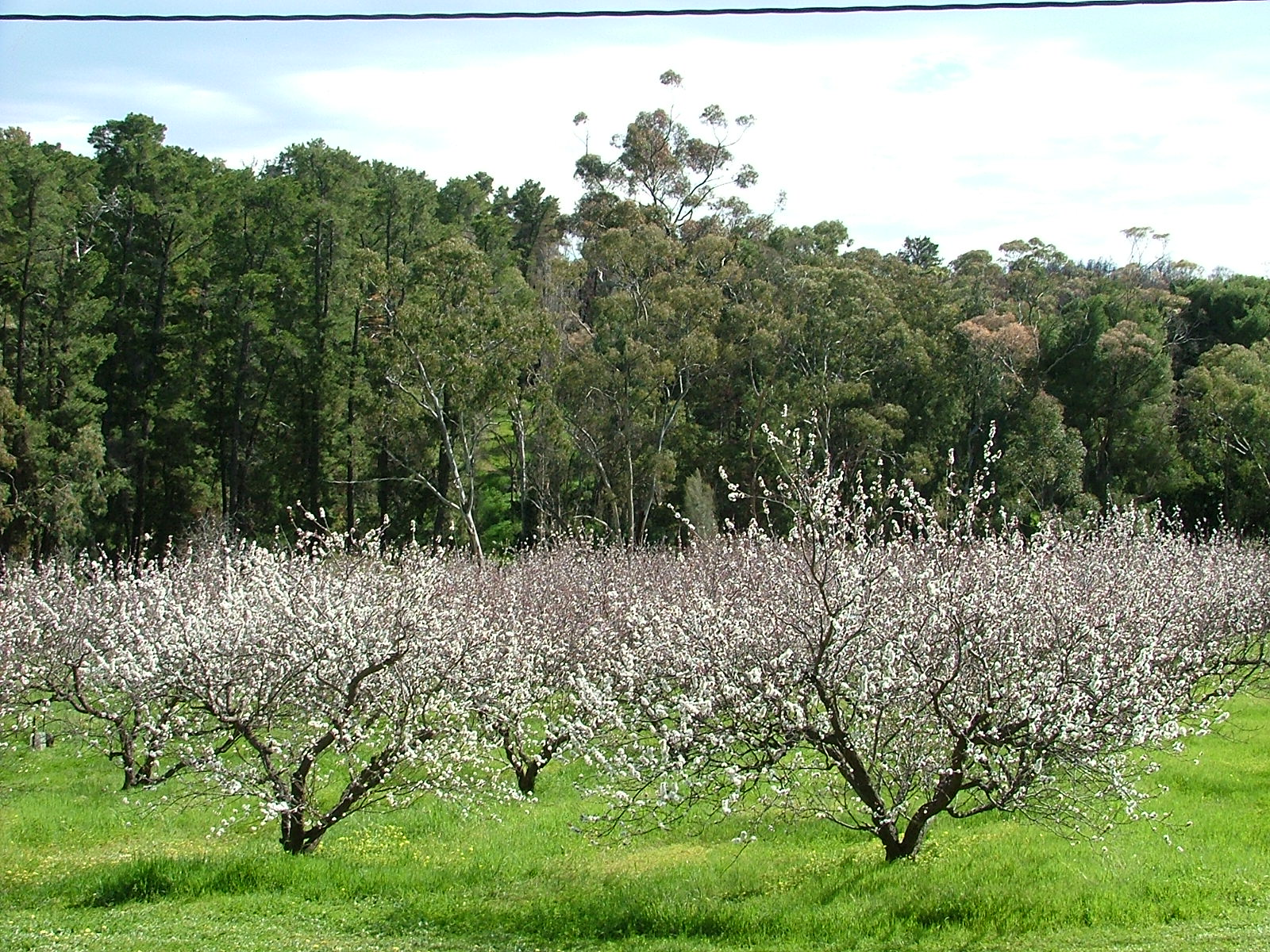 Apricot trees in flower : 8th September